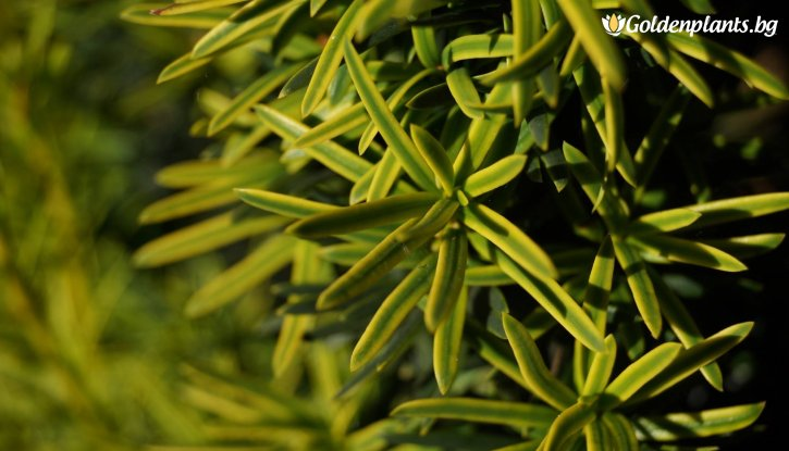 Снимка Тис Давид /Taxus baccata David/