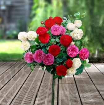 Червена + розова + бяла божуреста щамбова роза - Дърво 110 - 140 см...