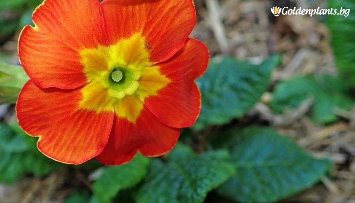 Снимка Иглика смесица 6 цвята /Primula Mix/