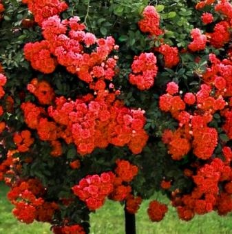 Червена плачеща роза - Дърво 110 - 140 см.