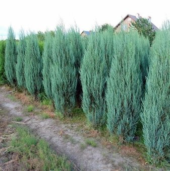 Юниперус Блу арол 120-150см. /Juniperus Blue Arrow/...