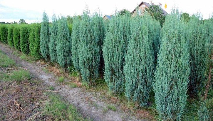 Снимка Юниперус Блу арол 175-200см. /Juniperus Blue Arrow/