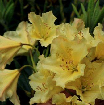 Рододендрон Професор Шолз 40-50см. /Rhododendron Profesor Scholz/..