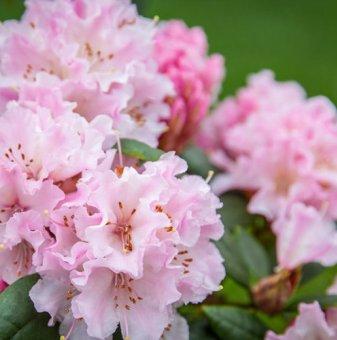 Рододендрон Настроение 40-50см. /Rhododendron Cheer/..