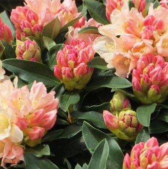 Рододендрон Златен факел 40-50см. /Rhododendron Golden Torch/..