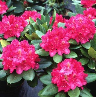 Рододендрон Американската красота на Пиърс 40-50см. /Rhododendron Pearce's American Beauty/..