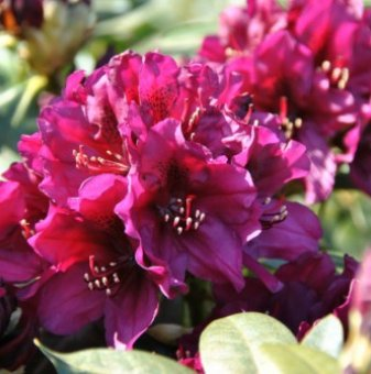 Рододендрон Поларнач 40-50см. /Rhododendron Polarnacht/..