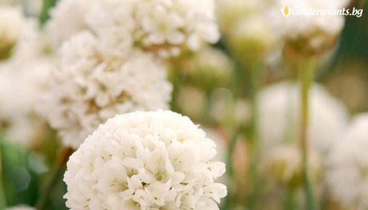 Снимка Армерия Балерина бяла /Armeria Ballerina white/