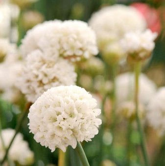 Армерия Балерина бяла /Armeria Ballerina white/...