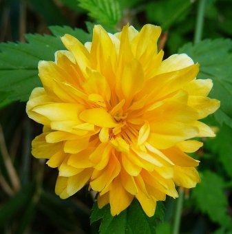 Керия Японика голям цвят /Kerria Japonica/...