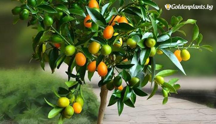 Снимка Кумкуат, Кумкват /Citrus kumquat/