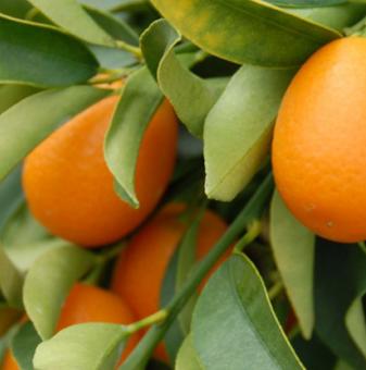 Кумкуат, Кумкват /Citrus kumquat/