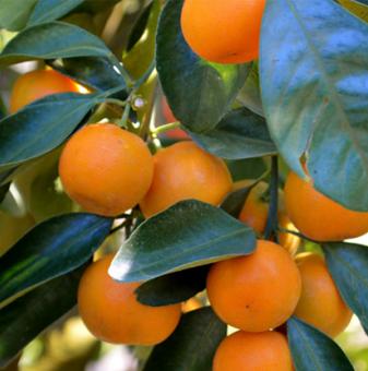 Мандарина /Citrus reticulata/