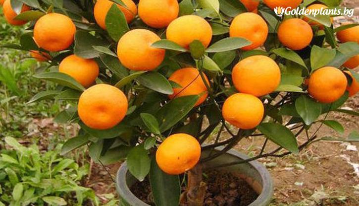 Снимка Мандарина /Citrus reticulata/