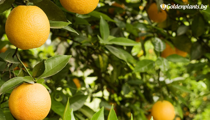 Снимка Портокал /Citrus sinensis/