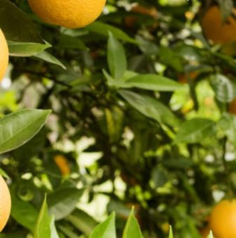 Портокал /Citrus sinensis/