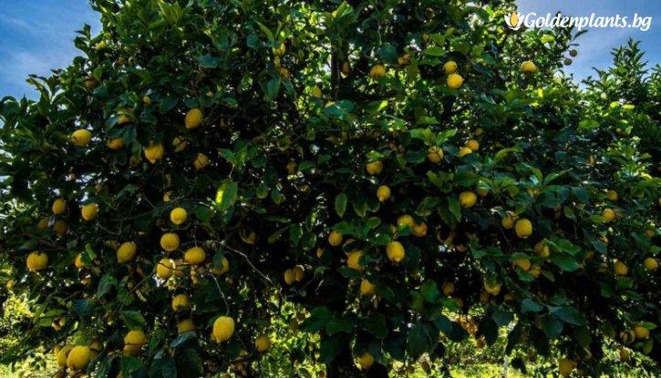 Снимка Лимон /Citrus Limon/