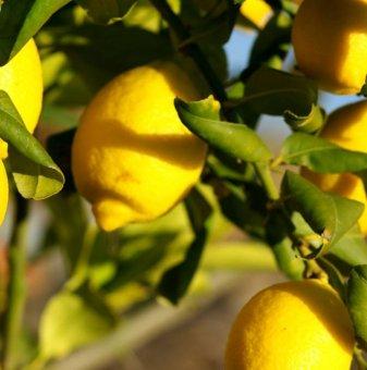 Лимон /Citrus Limon/