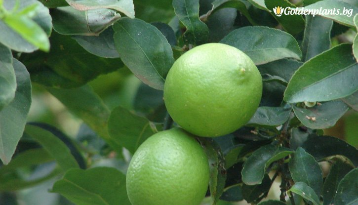 Снимка Лайм /Citrus latifolia/