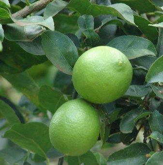 Лайм /Citrus latifolia/...