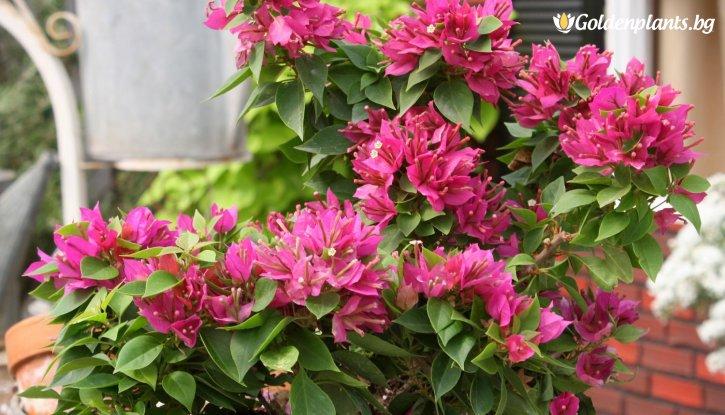 Снимка Бугенвилия розова 40-50 см /Bougainvillea/