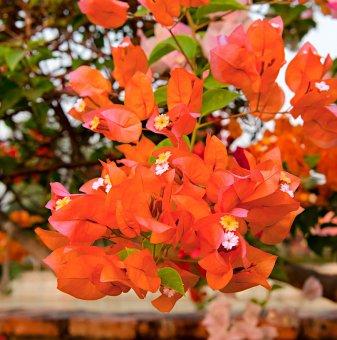 Бугенвилия оранжева дръвче 70-80см /Bougainvillea/ ..