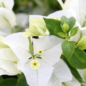 Бугенвилия Бяла дръвче 70-80 см /Bougainvillea/