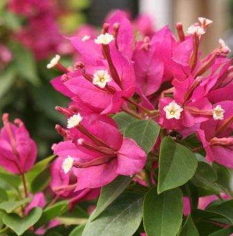 Бугенвилия розова - Кълбовидно дръвче /Bougainvillea/ ..