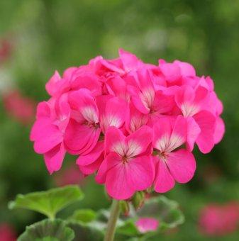 Мушкато Неон Розе /Pelargonium Neon Rose/