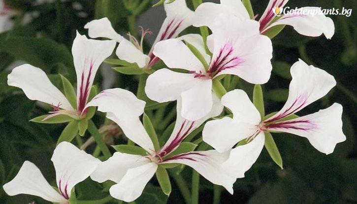 Снимка Сакъзче бяло /Pelargonium peltatum/