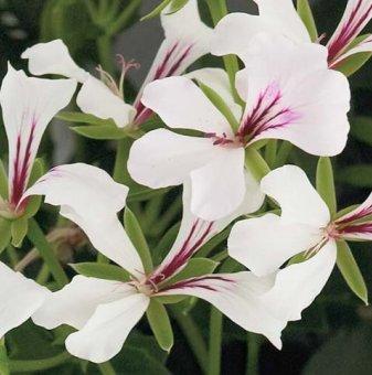 Сакъзче бяло /Pelargonium peltatum/