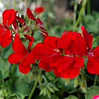 Сакъзче червено /Pelargonium peltatum/