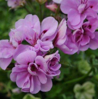Сакъзче люляково /Pelargonium peltatum/