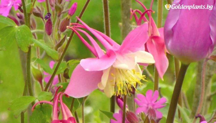 Снимка Кандилка - Аквилегия Розово жълта / Aquilegia mckana hybrids /