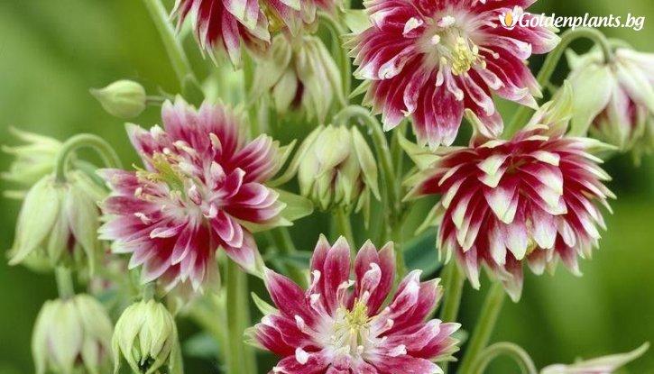 Снимка Кандилка - Аквилегия Бяло розова /Aquilegia nora barlow/