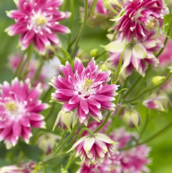 Кандилка - Аквилегия Бяло розова /Aquilegia nora barlow/...