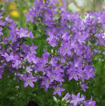 Кампанула Причардс /Campanula lactiflora Prichards variety/..
