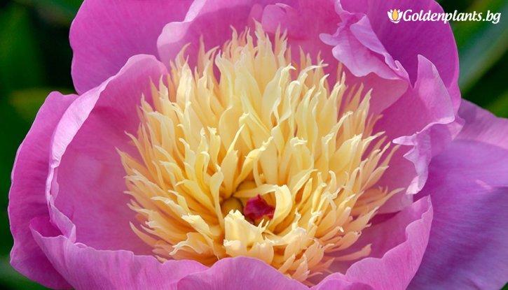 Снимка Божур Купа с Красота /Paeonia Bowl of beauty/