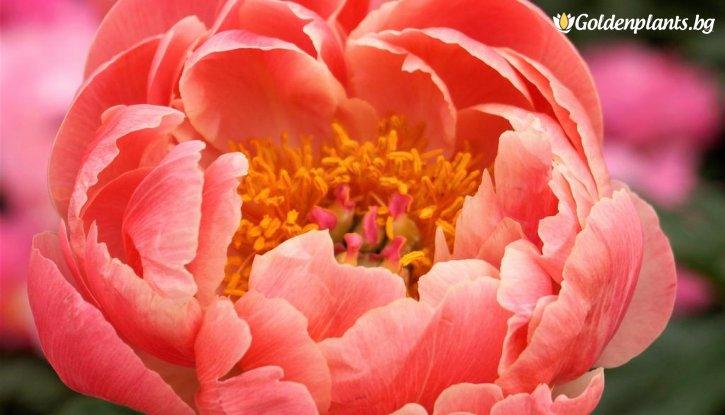 Снимка Божур Коралски чар /Paeonia Coral charm/