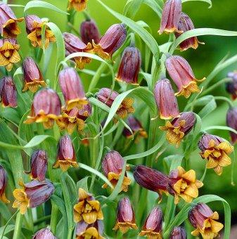 Фритилария Ува Вулпис / Fritillaria Uva Vulpis /