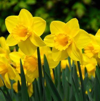 Нарцис Карлтон / Narcissus Carlton /