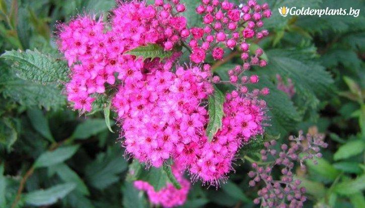 Снимка Японска спирея Криспа /Spiraea japonica Crispa/