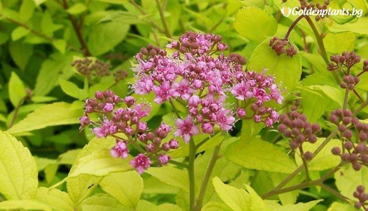 Снимка Японска спирея Goldmound /Spiraea japonica Goldmound/