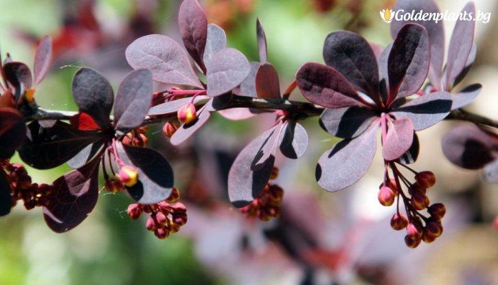 Снимка Берберис Червенолистен Кисел Трън /Berberis x ottawensis Auricoma/