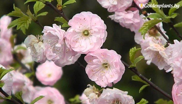 Снимка Японска слива Rosenmund /Prunus triloba Rosenmund/