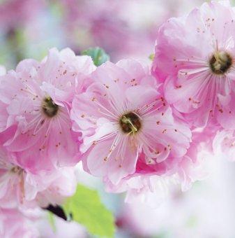 Японска слива Rosenmund /Prunus triloba Rosenmund/..