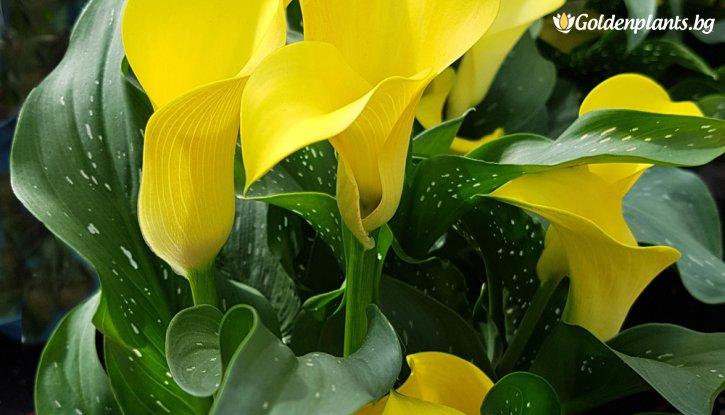 Снимка Кала жълта / Zantedeschia black magic yellow /