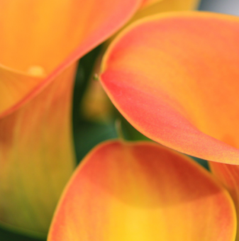 Кала Оранжева /Zantedeschia orange/
