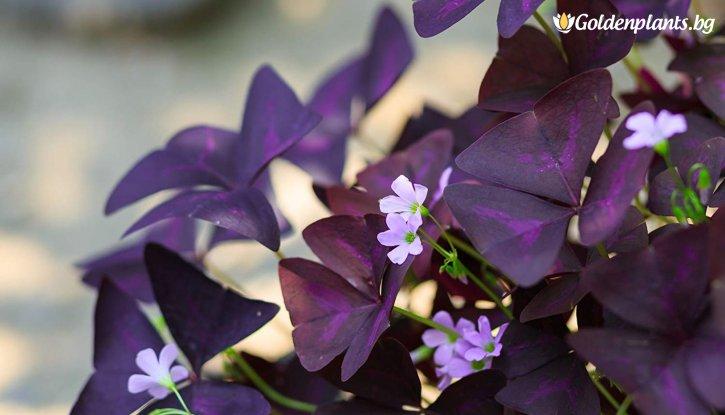 Снимка Триъгълна Детелина /Oxalis Triangularis/