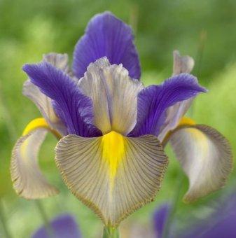 Ирис Циганска красавица / Iris gipsy beauty hollandica /..